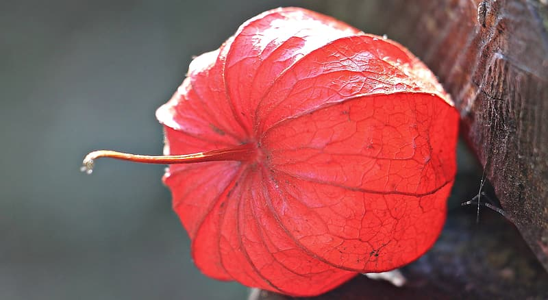 Selective focus photo of red Physalis