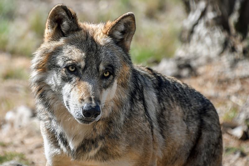 Black and brown wolf