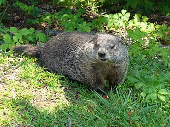 Brown and gray mammal on green grass