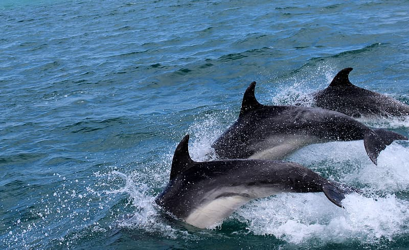 Three black dolphins dive in the water
