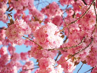 Pink cherry blossom tree at bloom