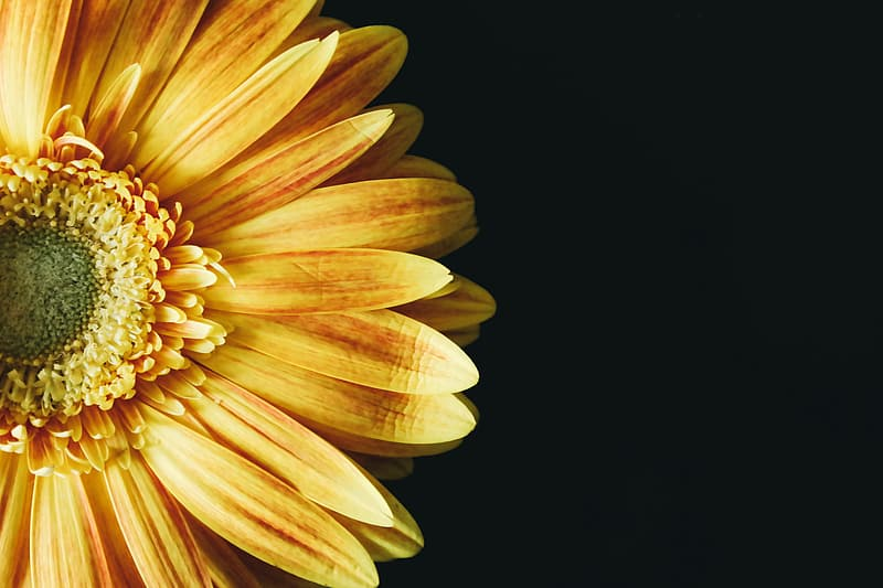 Close up photo of sun flower with black background