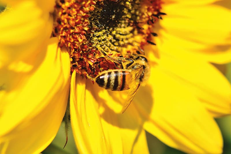 Honeybee perched on yellow flower in close up photography during daytime