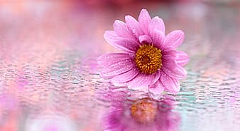 Selective focus photograph of pink daisy