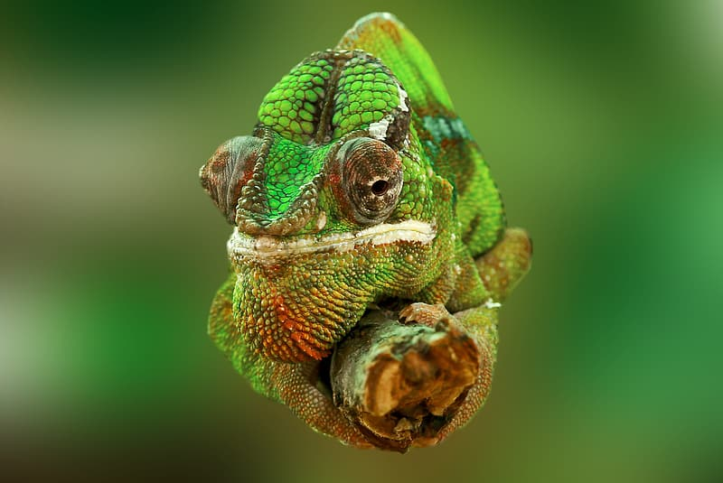 Selective focus photography of green and and grey chameleon on branch