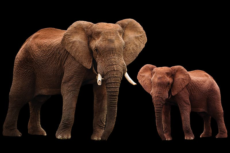 2 brown elephants on white background