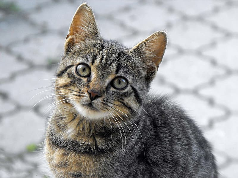 Black Tabby cat in closeup photography