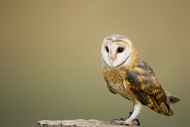 Focus photography of brown owl