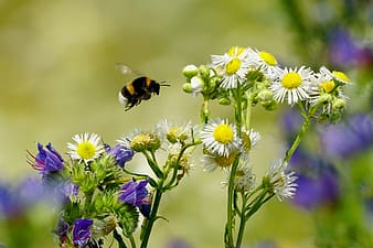 Bumble bee flying near white petaled flowers at daytime