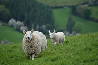 Two white sheep running on grass field during daytime