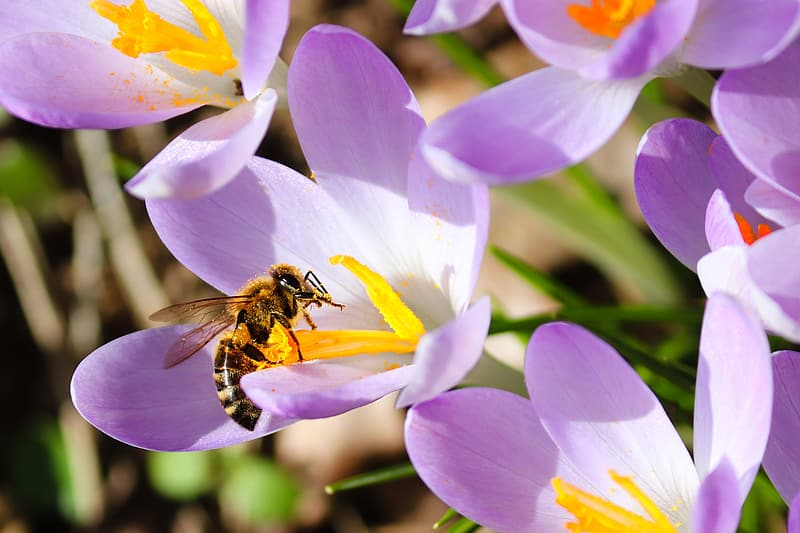 Honeybee perched on purple petaled flower in close up photography during daytime