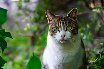 Animal photograph of brown tabby cat