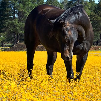 Brown horse stands on yellow flower field