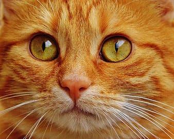 Macro shot of orange tabby cat