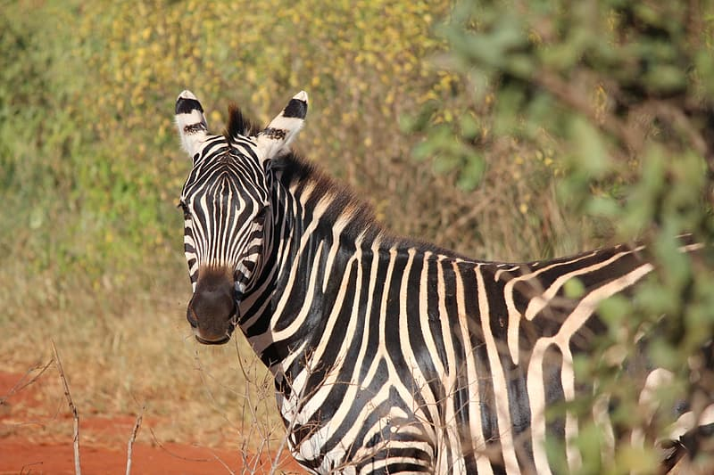 Zebra standing on brown grass during daytime