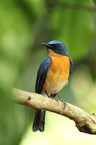 Blue and brown bird on brown tree branch