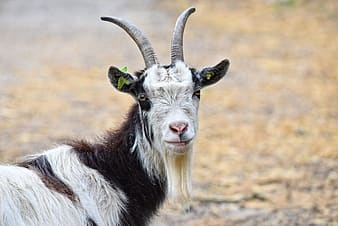Shallow focus photography of goat
