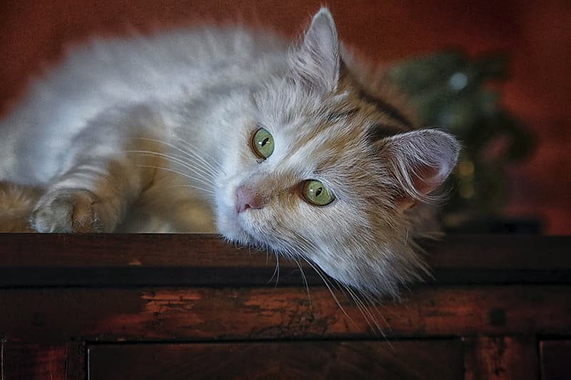 Long-fur gray cat lying on brown wooden cabinet