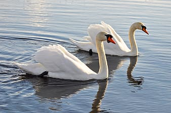 Two white swans swam in body of water