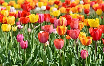 Pink and yellow tulip flowers in bloom at daytime