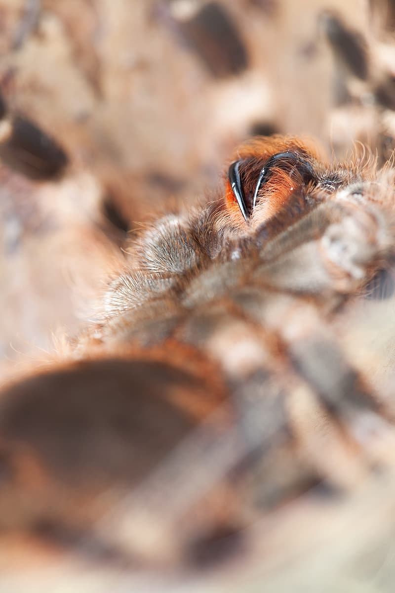 Brown and black tarantula in close up photography
