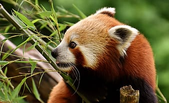 Red panda holding bamboo plant