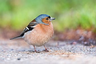 Brown and blue bird