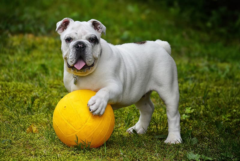 Adult white and brown English bulldog with yellow ball on grass field during daytime close-up photography
