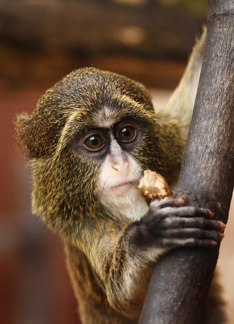 Closeup photo of black and brown monkey