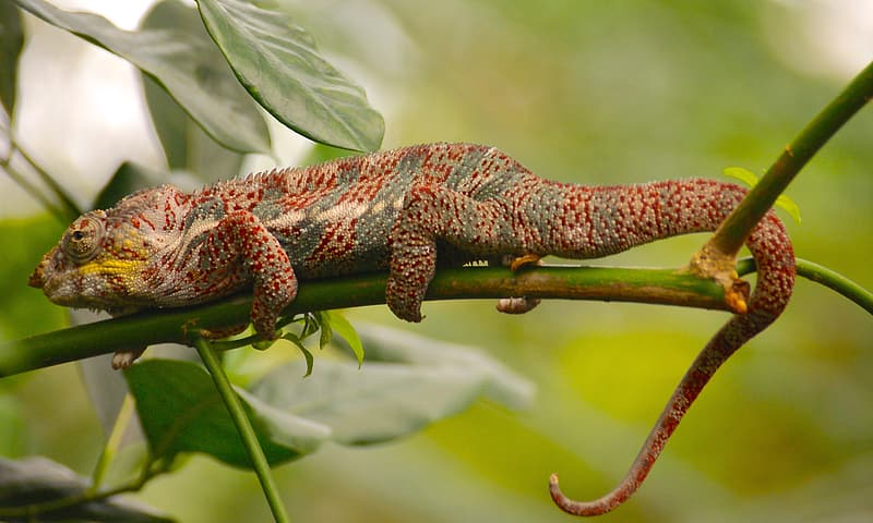 Red and brown lizard on green leaf