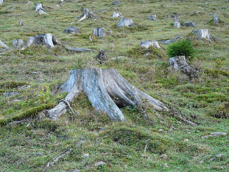 Grey tree stumps and green grass