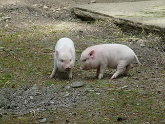 Two domestic piglets on ground