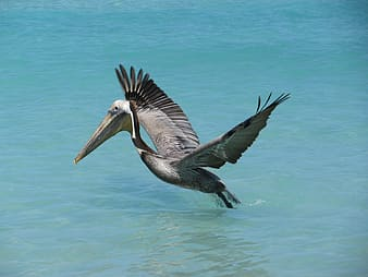 Gray pelican flying above body of water