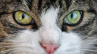 Black tabby cat closeup photography