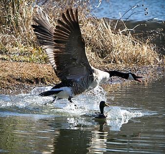 White and black goose spreading wings near water
