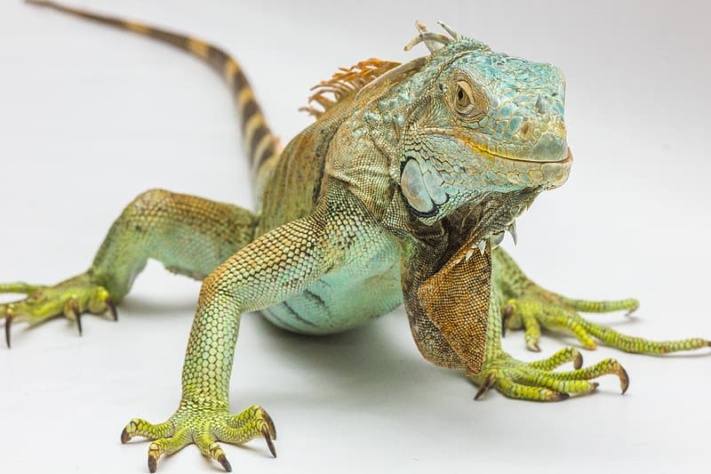 Green iguana in closeup photography