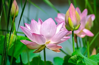 Shallow focus photography of pink lotus