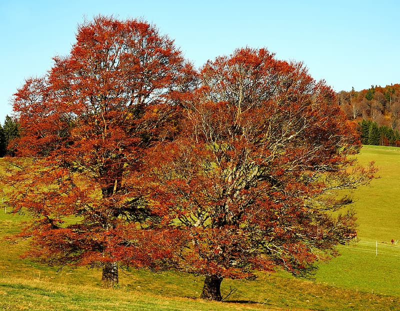 Two red leaf trees near mountain photo