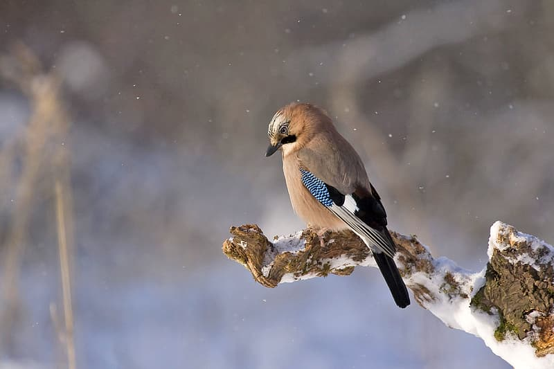Selective focus photography of Eurasian jay