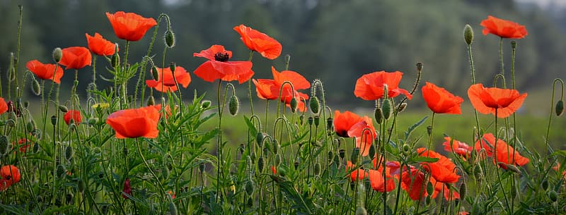 Closeup photography of red poppy field