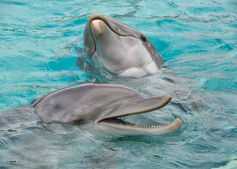 Two gray bottlenose dolphins