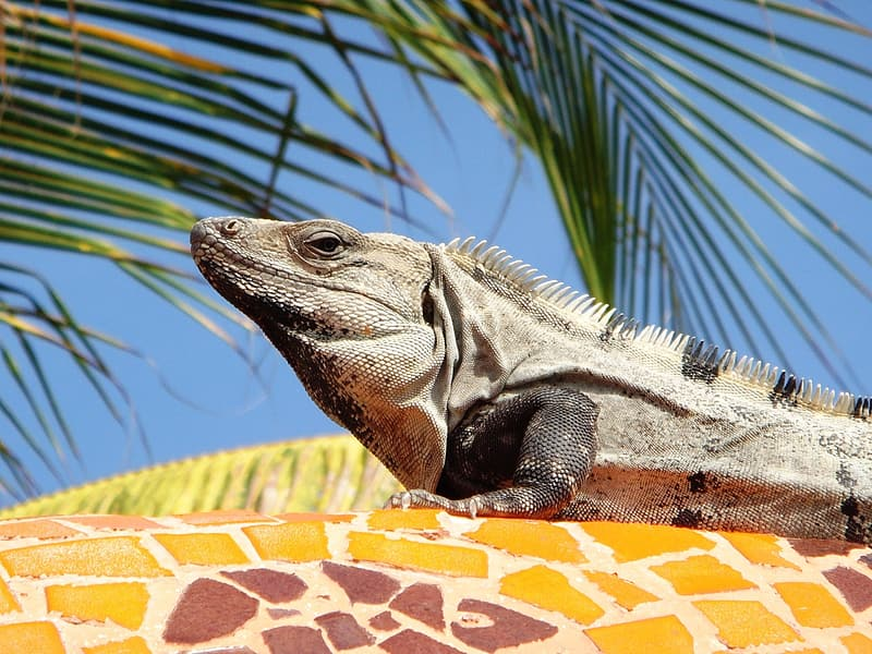 Close up photography of gray iguana