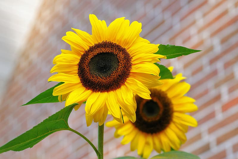 Two sunflower flowers