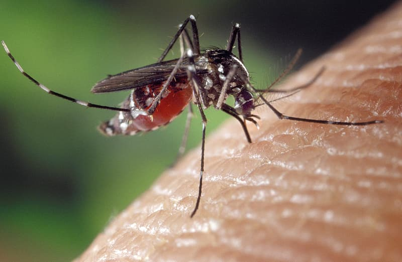 Close up photo of tiger mosquito