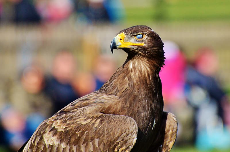 Brown and yellow eagle