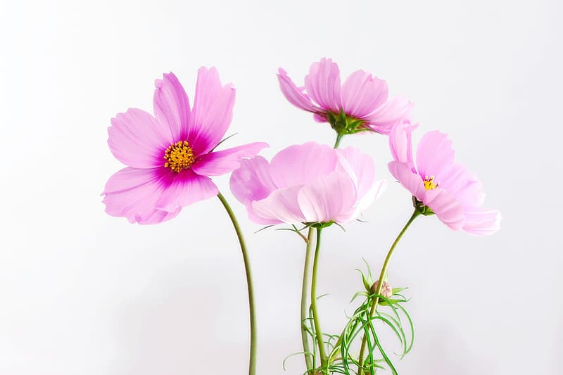 Four pink and yellow flowers
