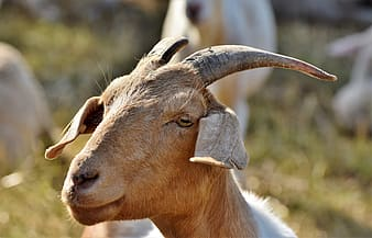goat, billy goat, goat buck, goatee, livestock, ruminant, domestic goat, goat's head, horns, bock