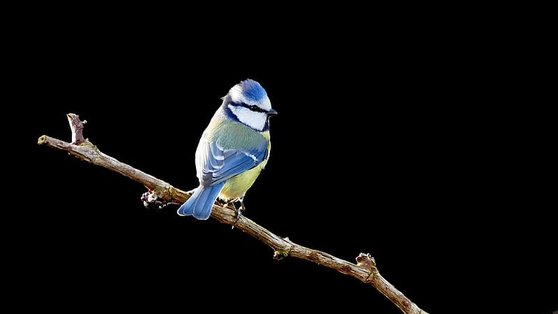 Short-beak blue and yellow bird perched on tree twig