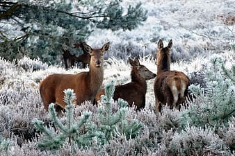 Three brown deers