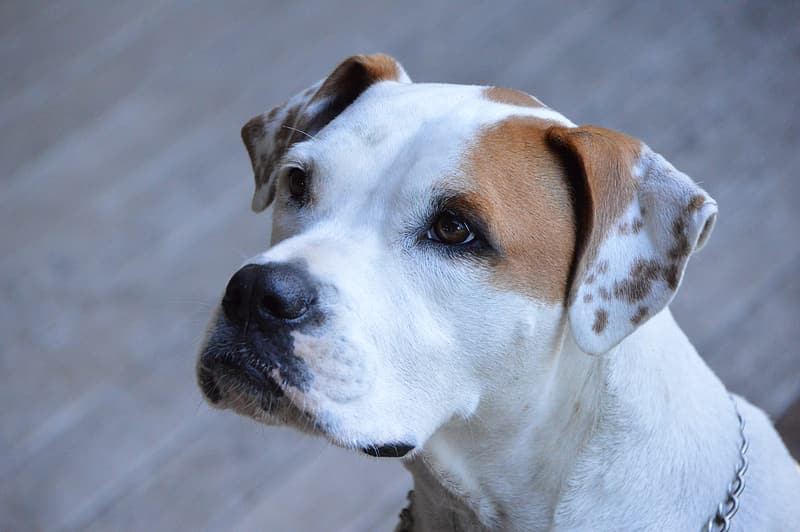 Adult white and tan American pit bull terrier